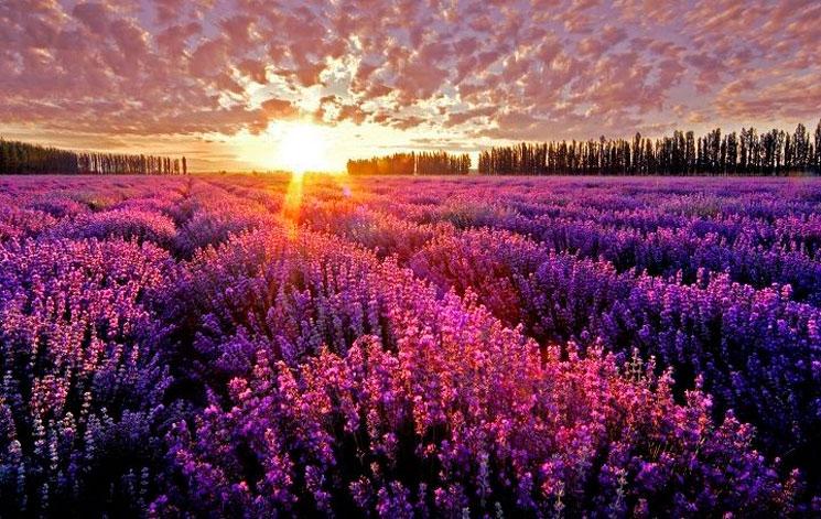 Венгерский фестиваль в Тихани приходится на пору цветения лаванды
